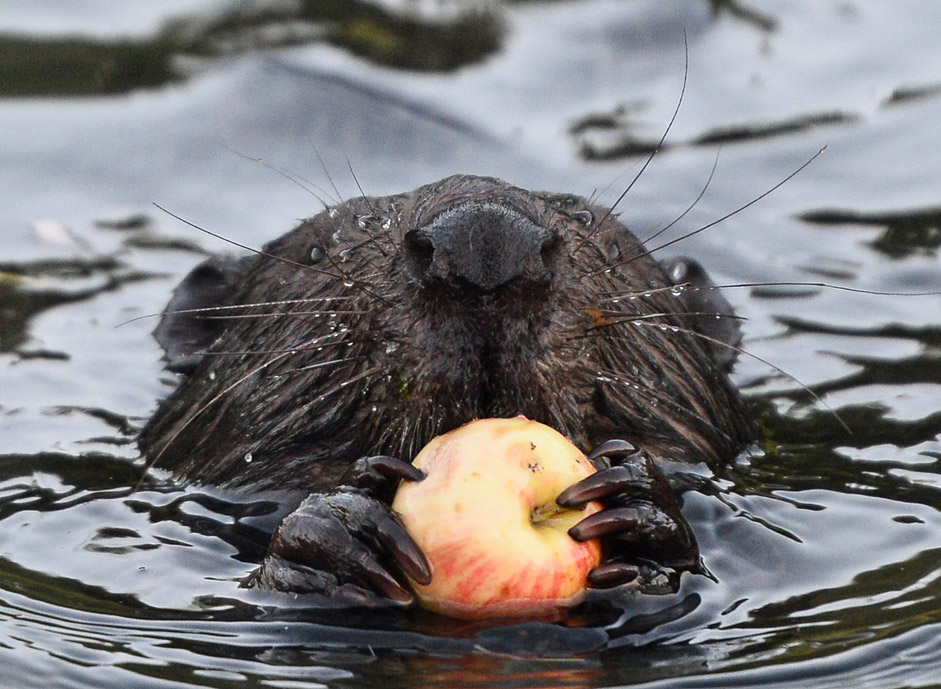 Beaver eating an apple in the Himka river in Moscow.