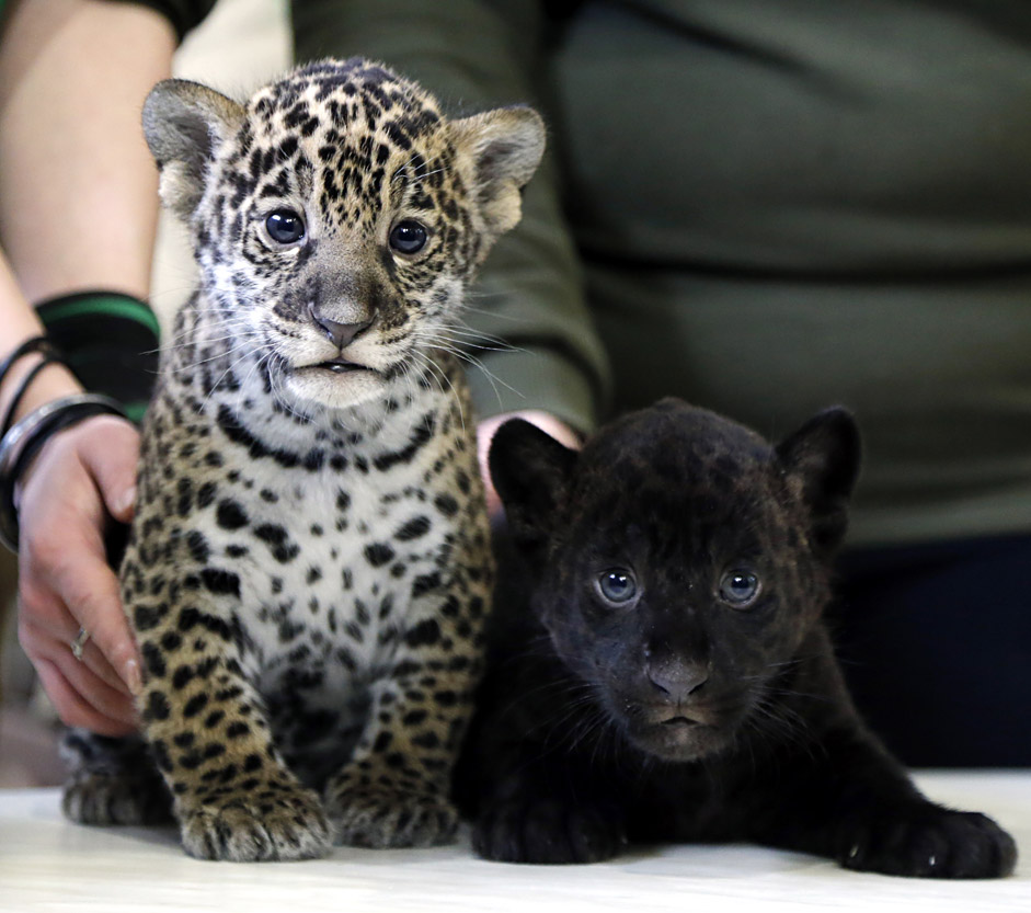 Two Jaguar cubs are presented at the Leningrad city zoo in St. Petersburg, Russia. A black and spotted female jaguar cubs gave birth on 11 March.