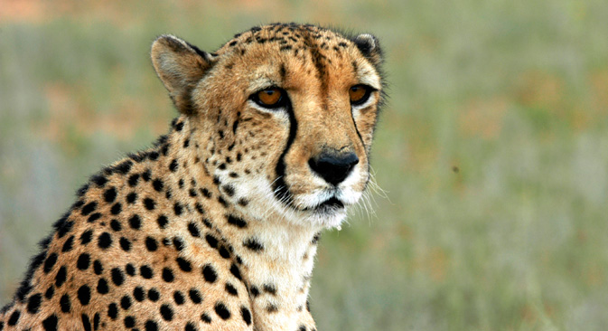 Scientists found that all cheetahs are genetically very close to each other.