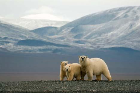 Quando o inverno fecha novamente o mar com gelo, os ursos voltam para o reino do Oceano Ártico Foto: Press Photo