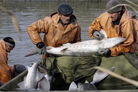 Mitarbeiter des Artenschutzes setzen die auf einer Fischfarm gezüchteten Störe in die Wolga aus. Foto: Reuters/Vostock-Photo