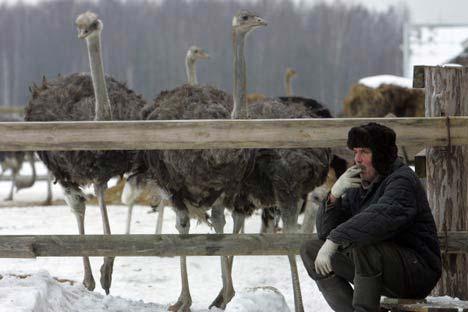 Hacienda de avestruces. Foto de RIA Novosti