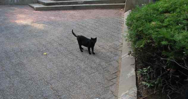 """Ein weltweiter Aberglaube: """"Eine Schwarze Katze von rechts bringt Unglück."""" Foto:  Shlomi Fish"""