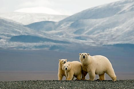 Wrangel Island in the Republic of Chukotka, the  home of the polar bear. Source: Bezrukov & Bashnaeva