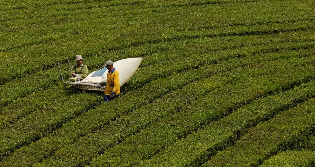 Es muss nicht immer Assam oder Ceylon sein, der Anbau von Tee ist auch in Russland lukrativ - Krasnodar ist das nördlichste Teeanbaugebiet der Erde. Foto: RIA Novosti