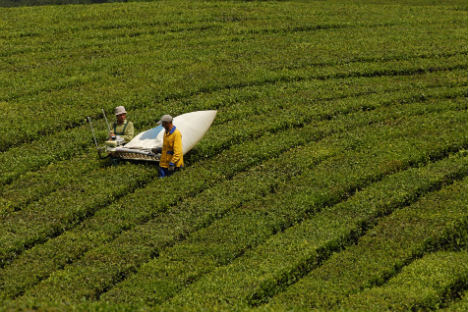 It may not be Assam or Ceylon, but growing tea is a profitable business in Russia. Krasnodarkiy krai is one of the fastest developing regions of growing the tea.    Source: RIA Novosti