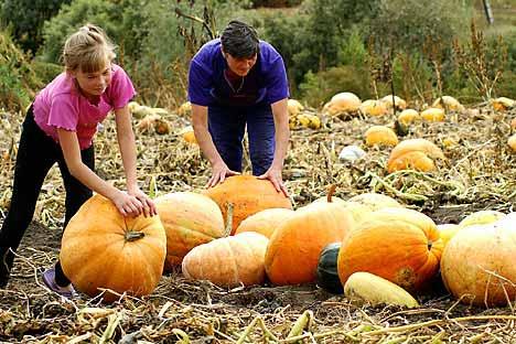 「豊作だ!」 家庭菜園でカボチャを収穫する父と娘 =タス通信撮影