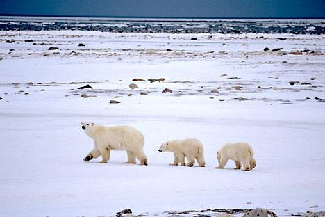 Die Erdölförder- und -transportregionen überschneiden sich mit den Lebens- und Migrationsgebieten der arktischen Fauna. Foto: Alamy_LegionMedia