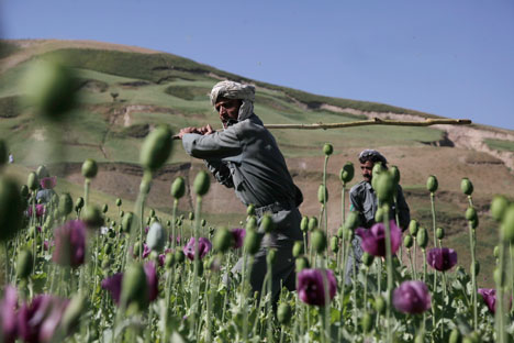 Opium field in Afghanistan. Source: AP