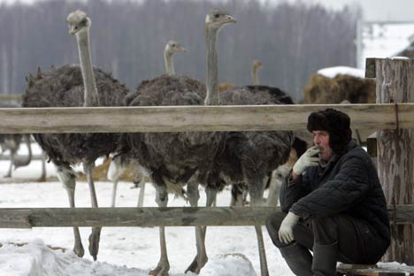 A fazenda de avestruzes nos arredores de Murmansk Foto: RIA Nóvosti