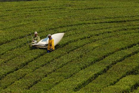 A plantação de chá mais setentrional do mundo, em Krasnodar, na Rússia Foto: RIA Nóvosti