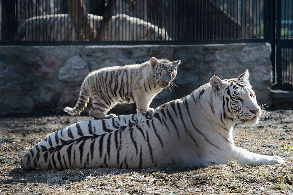 A white Bengal tiger cub plays with its mother in a zoo in theSiberian city of Novosibirsk, about 2,800 kilometers (1,750 miles)east of Moscow, Russia, Tuesday, April 21, 2015. Two blue-eyed Bengaltiger cubs were born in March to a couple of white tigers atNovosibirsk zoo.