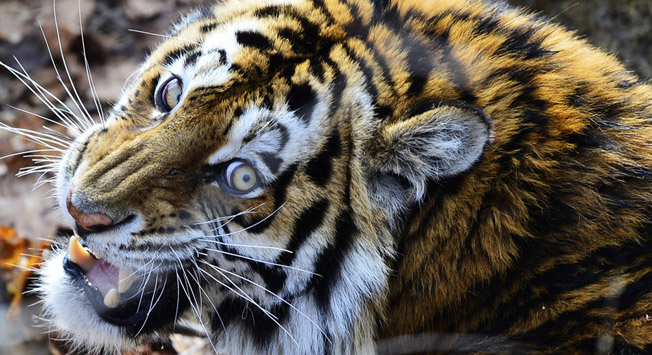 The Amur tiger is on the IUCN Red List of Threatened Species.