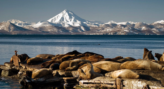 Steller sea lions are found everywhere near the coast of the Kamchatka peninsula, but the largest reproductive rookery is located on the Aleutian and Kuril Islands.