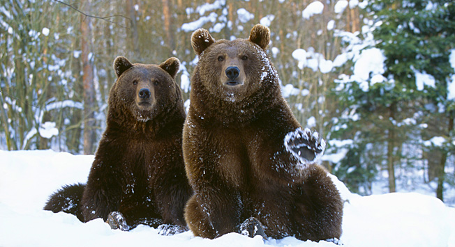 winter bears and danger 3 popular myths about siberia. Black Bedroom Furniture Sets. Home Design Ideas