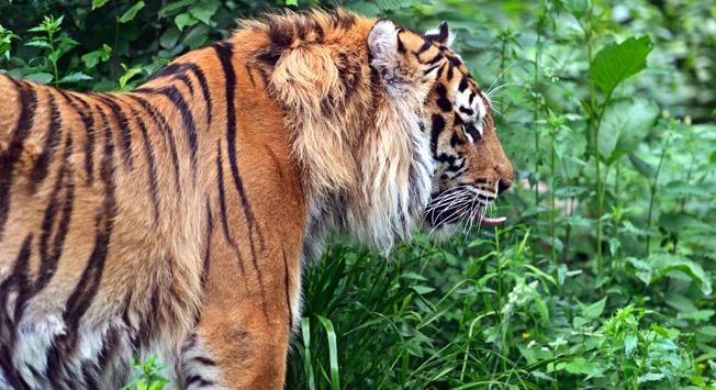 Amurski tiger, eden največjih kopenskih plazilcev.