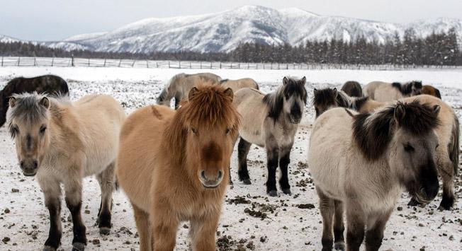 Tukajšnji konji se precej razlikujejo od sorodnikov iz toplejših krajev. Vir: Strana.ru