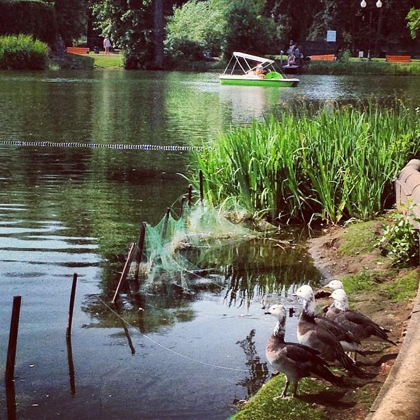 Pendant que dans les stades de Moscou ont lieu les Championnats du monde d'athlétisme, une compétition de natation aura lieu dans les parcs parmi les oies.
