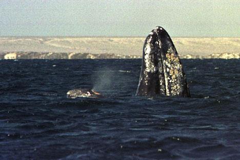Baleias migram para mar de Okhotsk, no noroeste do Oceano Pacífico Foto: Reuters