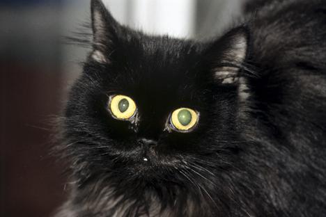 Segundo as autoridades locais, o gato preto não voltou ao hospital desde que foi liberado Foto: Ria Nóvosti