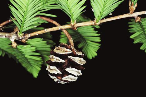 A metasequoia é um gênero de conífera e vive, em média, mais de 500 anos. Foto: East News