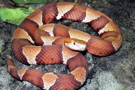 Para a retirada de mais veneno os dez funcionários do serpentário cuidam da tranquilidade dos animais Foto: wikipedia.org