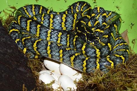 cobras mantidas em viveiro no Zoológico de Moscou colocaram 14 ovos Foto: Zoológico de Moscou