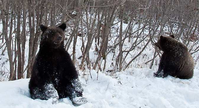 Two months of warm European winter in Russia keep bears awake. Source: Dmitry Tretyakov / RIA Novosti