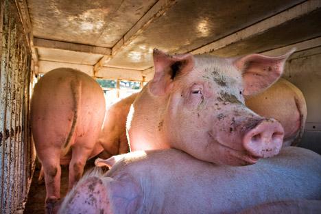 O embargo à carne de porco europeia favorece os produtores domésticos, que estão enfrentando muitos problemas Foto: AFP / East News