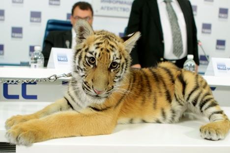 Filhote de tigre virou centro das atenções durante coletiva de imprensa sobre o programa Foto: Vitáli Beloussov/RIA Nóvosti