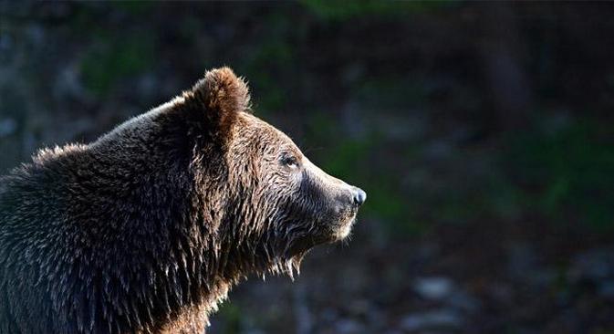 Ursos-pardos são vistos com cada vez mais frequência nas ruas das cidades siberianas Foto: Lori / Legion Media