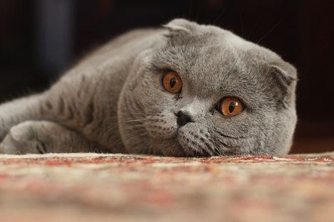 Apreensão de animais de estimação por falta de outros bens está se tornando prática comum na Sibéria Foto: wikicommons