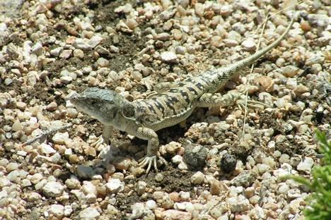 A nova espécie de plesiossauros será chamada de Polycotylus sopotsko Foto: wikipedia.org