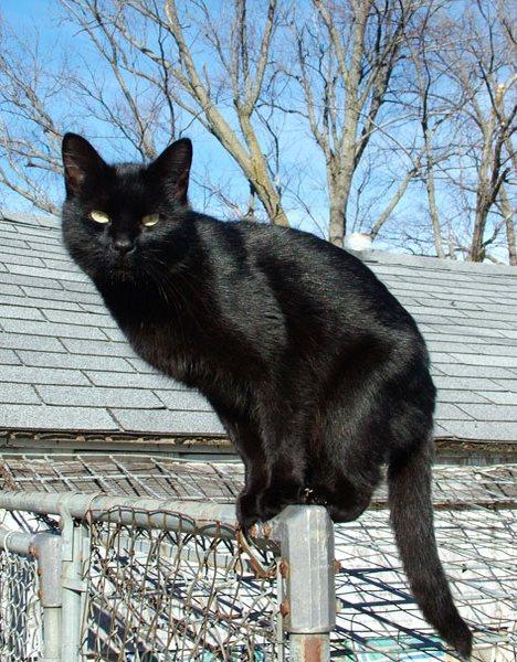 Assim como no Brasil, cruzar com um gato preto na Rússia pode ser um mau sinal Foto: wikipedia.org
