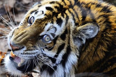Em 90% dos casos, os ataques de tigres acontecem por culpa das pessoas Foto: TASS