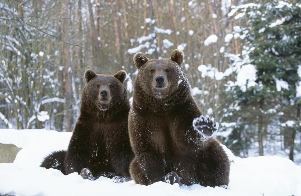 Símbolo da Sibéria, urso é mais um rótulo turístico que sobreviveu ao tempo