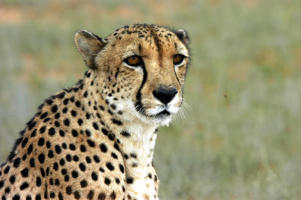 Cientistas russos da Universidade Estatal de São Petersburgo mapearam felinos africanos