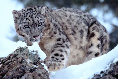 Der Amur-Leopard ist in freier Wildbahn nahezu ausgestorben. Foto: Alamy / Legion Media
