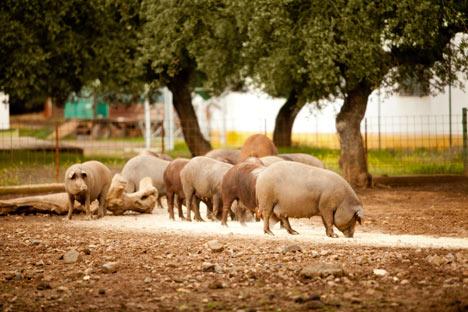 Für russische Schweinefleisch-Erzeuger werden nach dem WTO-Beitritt Russlands schwere Zeiten kommen. Foto: : Legion Media
