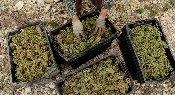 Ende der 50er-Jahre des 20. Jahrhunderts stand die UdSSR nach Angaben des Internationalen Büros für Wein weltweit auf Platz fünf, was ihre Weinanbauflächen, und auf Platz sieben, was die produzierte Weinmenge betrifft. Foto: Michail Mordasow