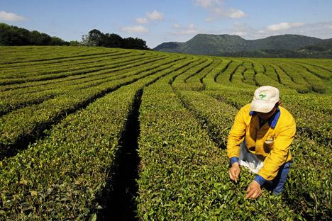 """Der Tee """"Domik Koschmana"""", der handgepflückt wird, kann heute in russischen Geschäften zu einem relativ guten Preis gekauft werden. Foto: RIA-Novosti"""