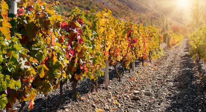 Ein Weingarten auf der Krim. Foto: PhotoXPress