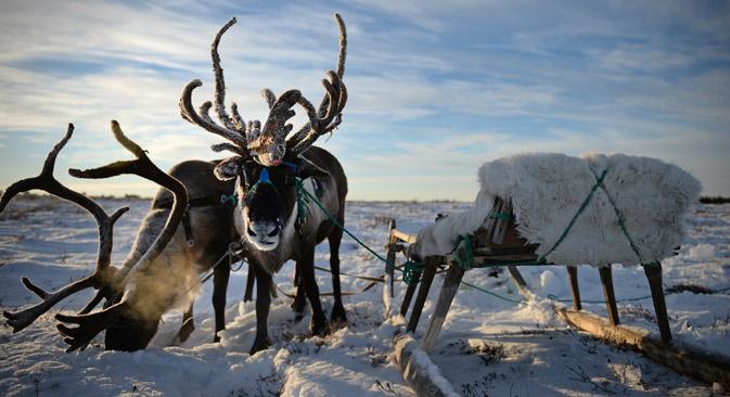 Die Tschuktschen messen ihr eigenes Kapital in Rentieren. Foto: Ramil Sitdikov / RIA-Novosti