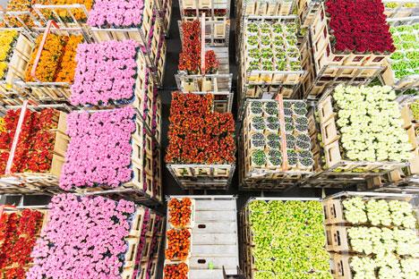 Holländische Tulpen können in Russland wegen der Quarantäneorganismen, die da gefunden worden sind, verboten werden.
