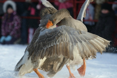 Goose fighting competitions have paved its way to Russia's countriside. Source: RIA Novosti, ITAR-TASS