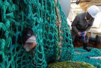 Alaska pollock a fish in the cod family, is fished year-round off Russia's Pacific coast. Source: Andrei Shapran