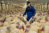 Evrodon Group is the indisputable leader of the Russian turkey business. Source: Sergey Venyavsky/RIA Novosti