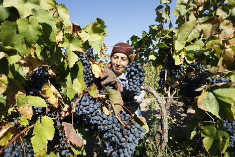 The vinery harvest in the Rostov Region. Source: ITAR-TASS