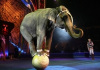 An elephant manages to balance deftly at the Great Circus. Source: ITAR-TASS