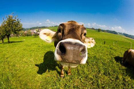 Estabelecimentos de produção de carne bovina estão localizados nos Estados de Goiás, Rondônia e Mato Grosso Foto: Shutterstock